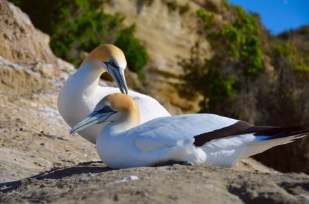 Gannets-Cape-Kidnappers-1600x1060