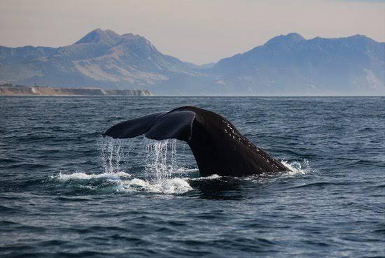 WhaleWatchKaikoura